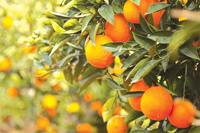 Oranges grow in Israel.